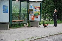 2010-06-25 - Les Poules