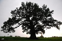 2010-08-15 - gros chêne